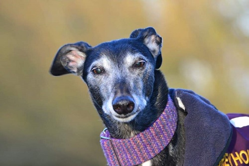 Black beauty Skye will be 13 years old in June. She's certainly rocking the 'grey'hound look!