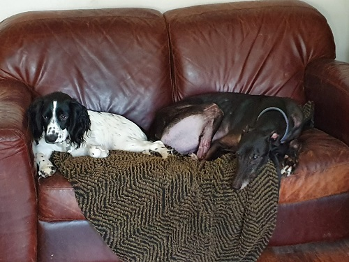 Taylor (Tiptoe Away) with his little fur sis, he also has two greyhound brothers, 1 human bro and 2 human sisters.  He will be 10 this year and is our grumpy grandad dog.