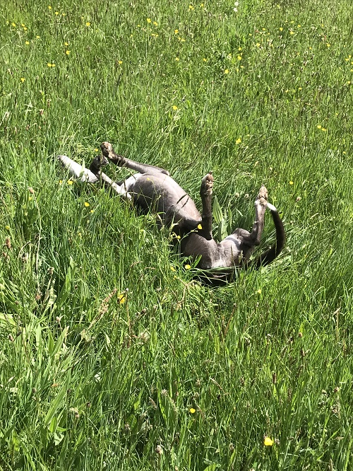 Blu enjoying a roll in the long grass of the kennel field.