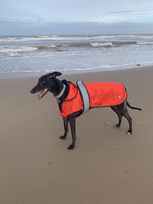 This is Shelby who was adopted from the greyhound trust in Wolverhampton on 01-09-2019, she has settled in so well and is part of our family.  This is her first time at the beach - she loved it!
